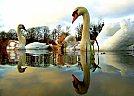 5x2 Swans - foto de Nicolas Valentin
